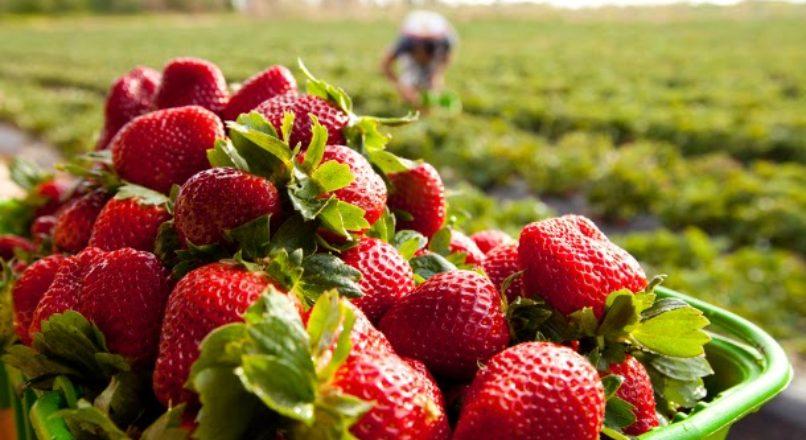 Cultivo de morangos como oportunidade de negócio
