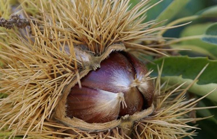 Mercado de castanhas vem ganhando destaque no Brasil
