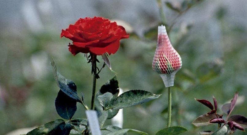 Floricultura – Produção de Flores de Corte Temperadas