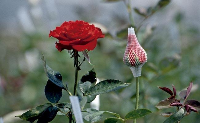 sebrae mercados, produção de flores de corte temperadas