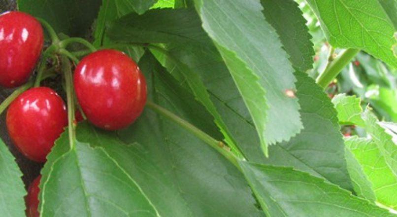 Fruticultura oferece uma gama de novas oportunidades