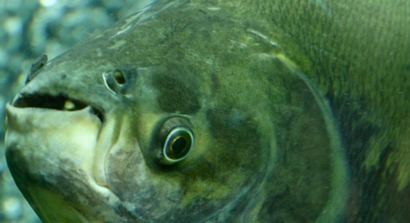 Espécies de pescado mais cultivadas em água doce