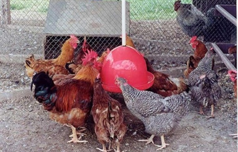 O mercado e a produção de galinha caipira no Brasil