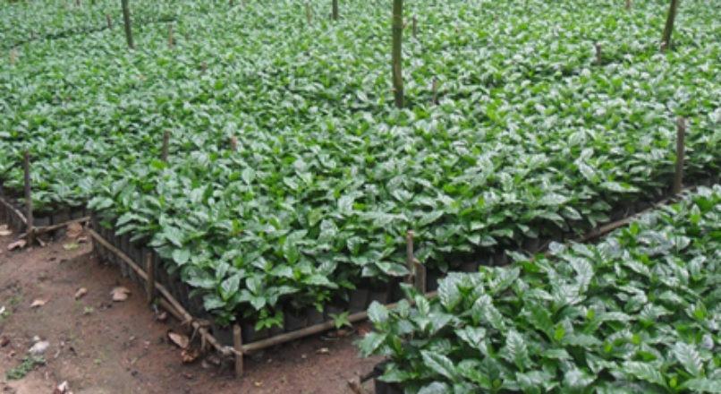 Sistema agroflorestral agrega valor ao café