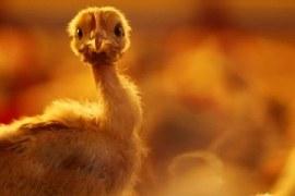 Construção de aviário e boas práticas na avicultura