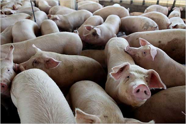 sebrae mercados, raças de suínos estrangeiras para produção de carne