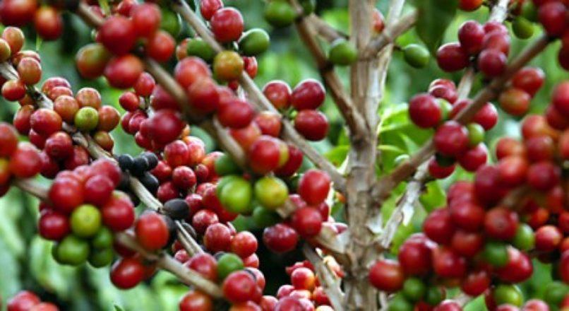 Universidade desenvolve técnica que melhora produção de café