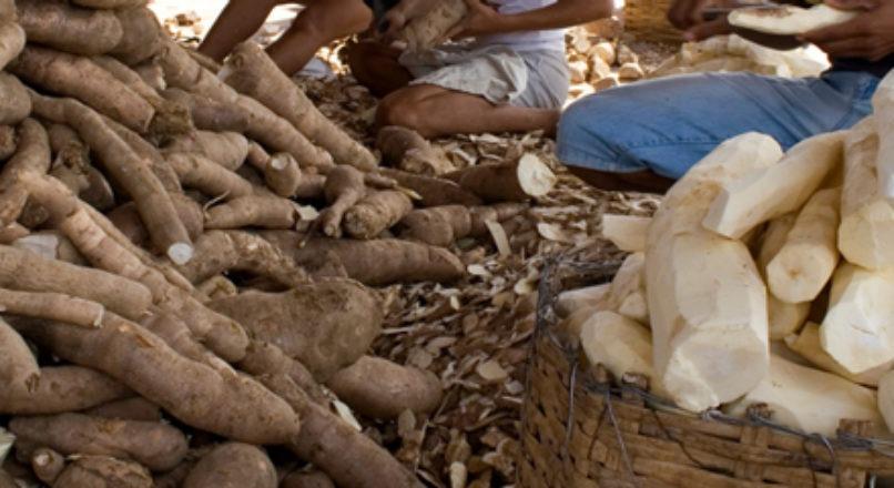Cooperativas e associações fortalecem produção de mandioca