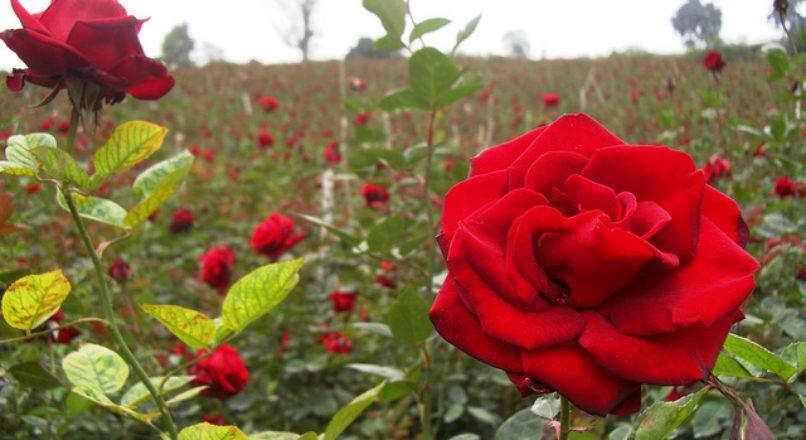 Características do Cultivo de Rosas