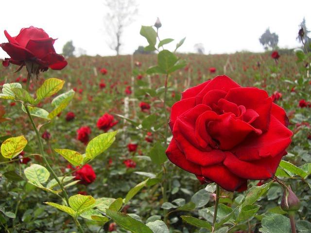 sebrae mercados, cultivo de rosas
