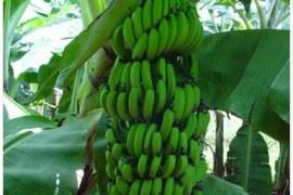 Versatilidade é o ponto forte da banana