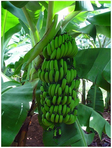 Banana_Capa