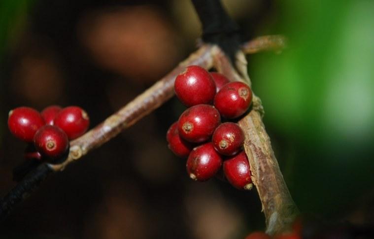 Cafés gourmet e orgânico: classificação comercial