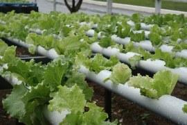 Avanços na produção de hortaliças hidropônicas.