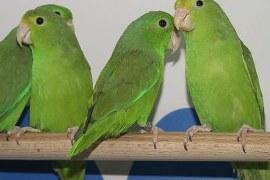 Criação de aves ornamentais como oportunidade de negócios