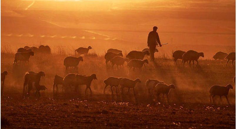 Razões para investir em ovinocultura