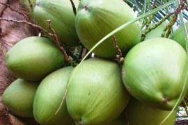 Cultivo e mercado de Coco Verde