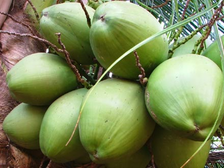 sebrae mercados, cultura e mercado do coco verde