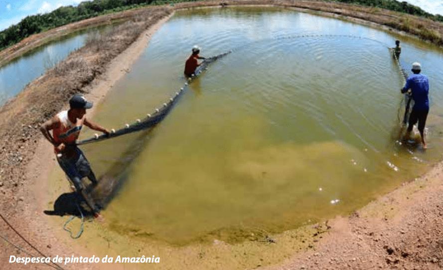sebrae mercados, piscicultura despesca