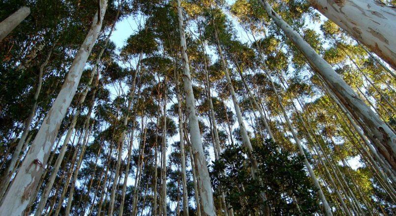 Investindo na produção de eucalipto