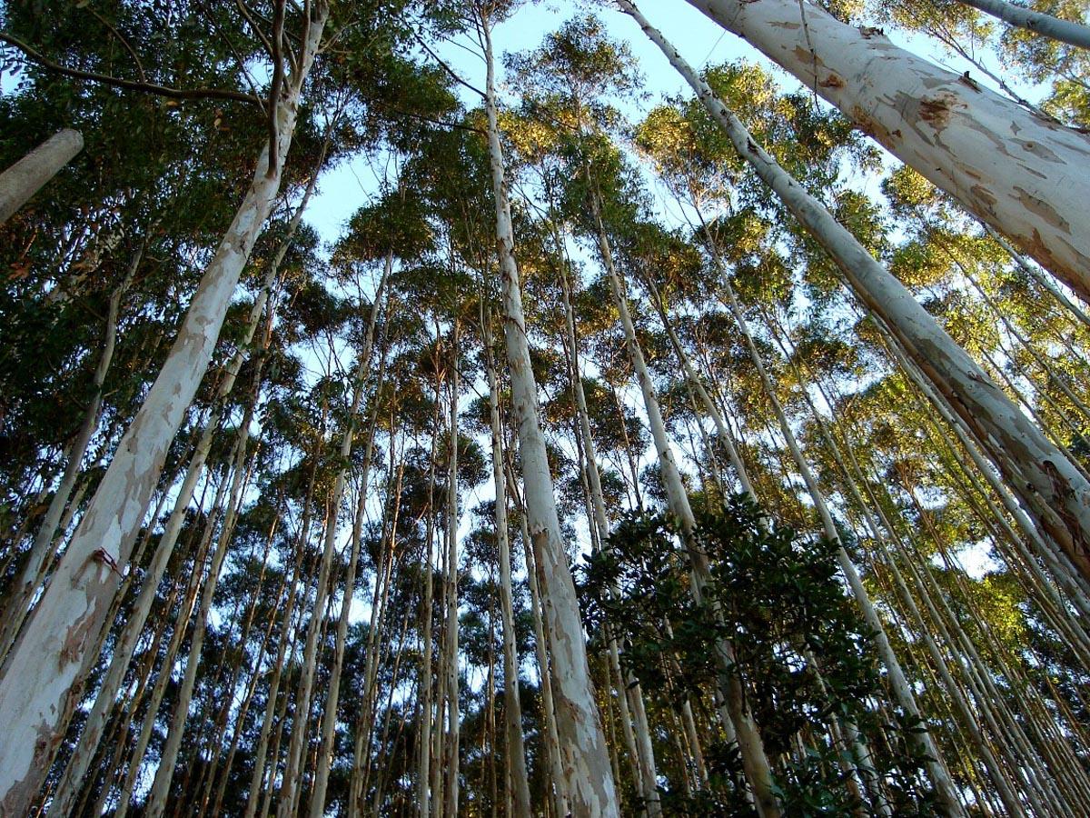 sebrae mercados, produção de eucalipto