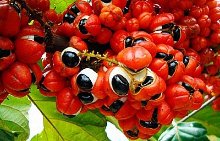 Cultivo e mercado do guaraná