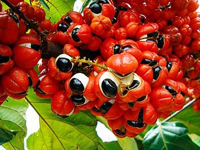 sebrae mercados, cultivo e mercado do guaraná