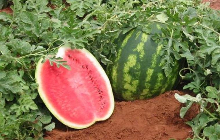 Cultivo e mercado da melancia