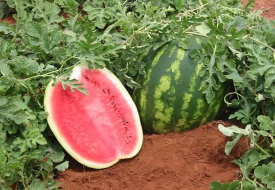 sebrae mercados, cultivo e mercado da melancia.