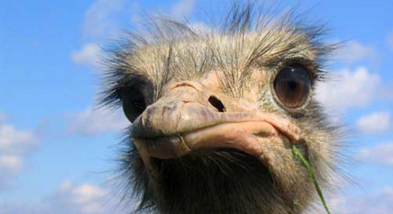 Criação de avestruz como oportunidade de negócio