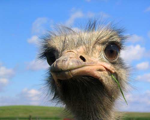 sebrae mercados, criação e avestruz
