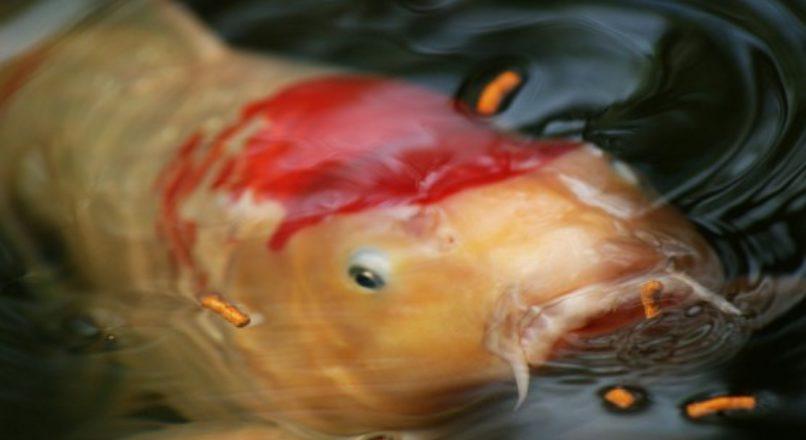 Técnicas de alimentação na piscicultura