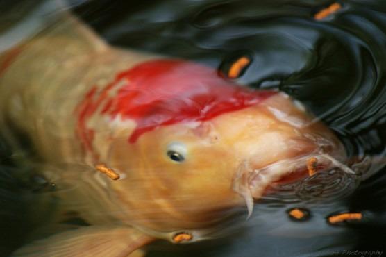 Sebrae mercados, técnicas de alimentação na piscicultura