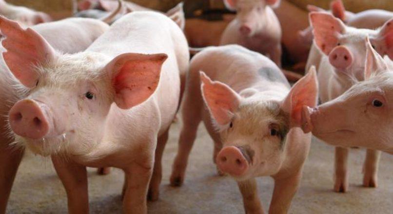 Suinocultura – principais raças nacionais de suínos