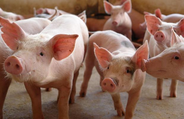 sebrae mercados, raças de suínos criados no Brasil