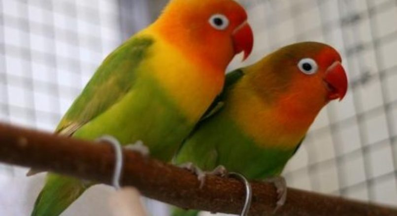 Aves ornamentais – início com baixo investimento