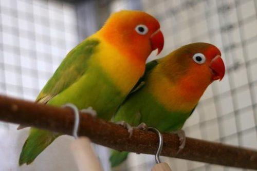 sebrae mercados, Criação de aves ornamentais