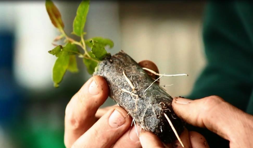 sebrae mercados, produção de sementes e mudas florestais